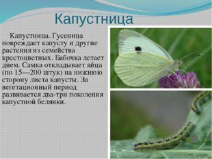 Капустница Капустница. Гусеница повреждает капусту и другие растения из семей