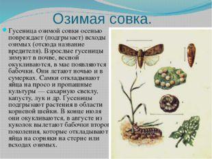Озимая совка. Гусеница озимой совки осенью повреждает (подгрызает) всходы ози