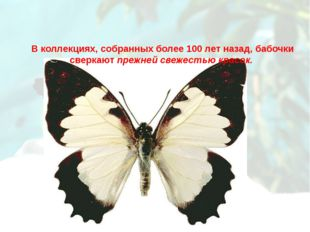 В коллекциях, собранных более 100 лет назад, бабочки сверкают прежней свежест