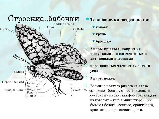 Строение бабочки Тело бабочки разделено на: голову грудь брюшко 2 пары крылье...