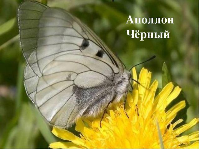Аполлон Чёрный