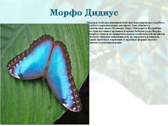 Морфо Дидиус Крылья этой красивейшей бабочки перламутрово-голубого, голубого...