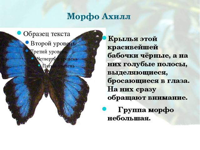 Морфо Ахилл Крылья этой красивейшей бабочки чёрные, а на них голубые полосы,...