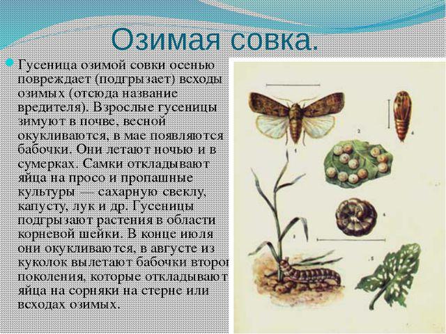 Озимая совка. Гусеница озимой совки осенью повреждает (подгрызает) всходы ози...