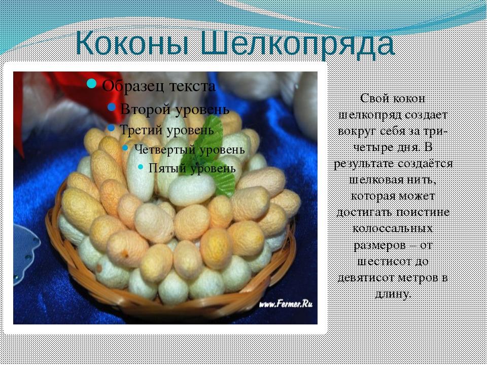 Коконы Шелкопряда Свой кокон шелкопряд создает вокруг себя за три-четыре дня....