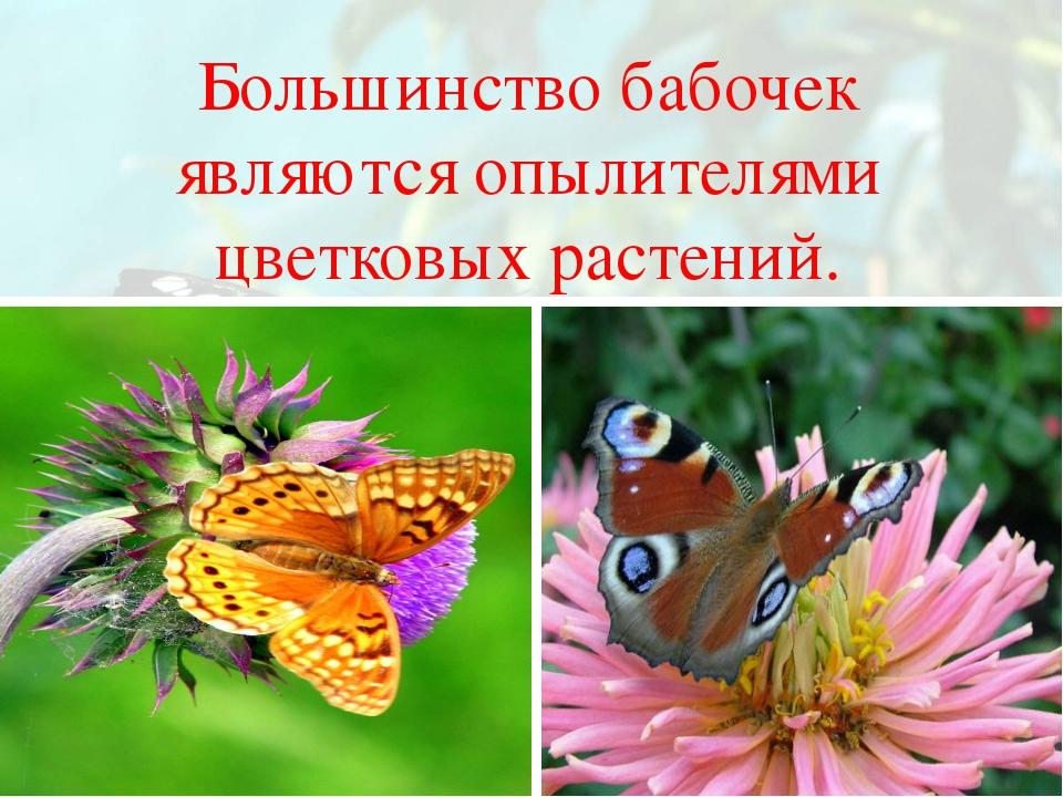 Большинство бабочек являются опылителями цветковых растений.