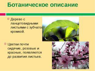 Ботаническое описание Дерево с ланцетовидными листьями с зубчатой кромкой. Цв