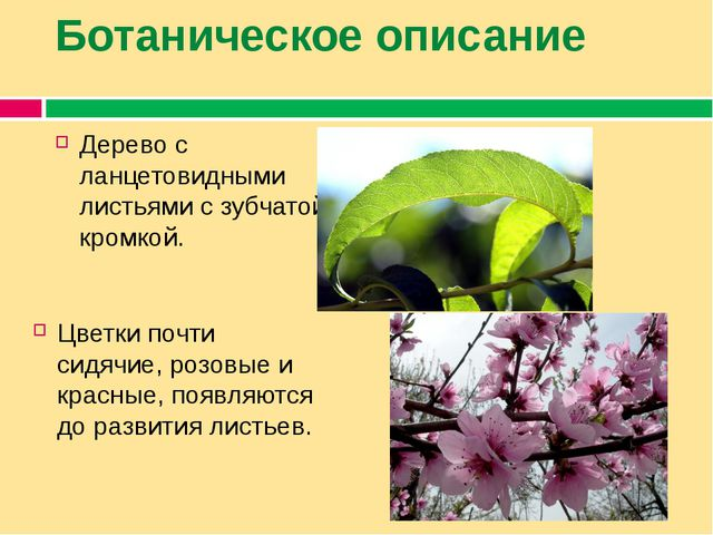 Ботаническое описание Дерево с ланцетовидными листьями с зубчатой кромкой. Цв...