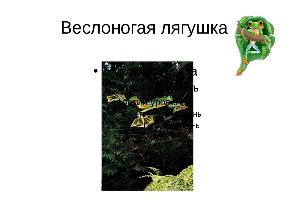 Веслоногая лягушка