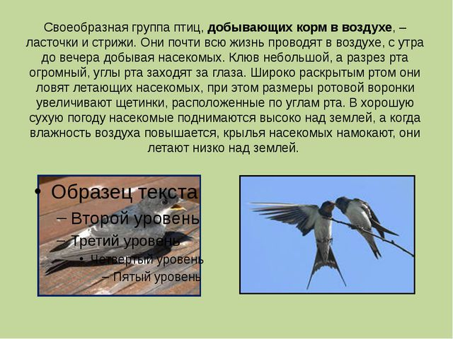 Своеобразная группа птиц, добывающих корм в воздухе, – ласточки и стрижи. Они...