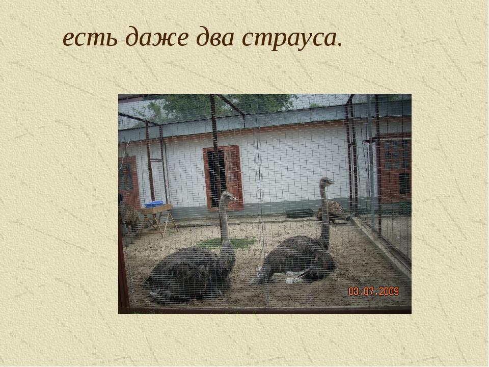 есть даже два страуса.