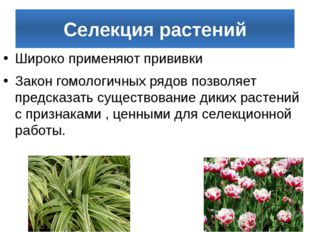 Селекция растений Широко применяют прививки Закон гомологичных рядов позволяе