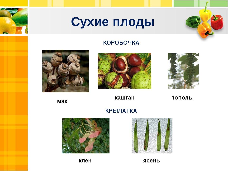 Сухие плоды Text Text Txt КОРОБОЧКА КРЫЛАТКА клен ясень мак каштан тополь