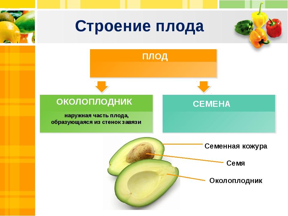 Строение плода наружная часть плода, образующаяся из стенок завязи ПЛОД СЕМЕН...