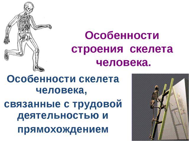 Особенности строения скелета человека. Особенности скелета человека, связанны...