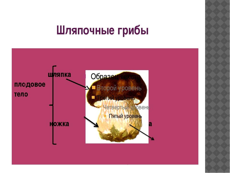 Шляпочные грибы шляпка плодовое тело ножка грибница