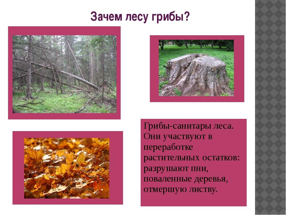 Зачем лесу грибы? Грибы-санитары леса. Они участвуют в переработке раститель...