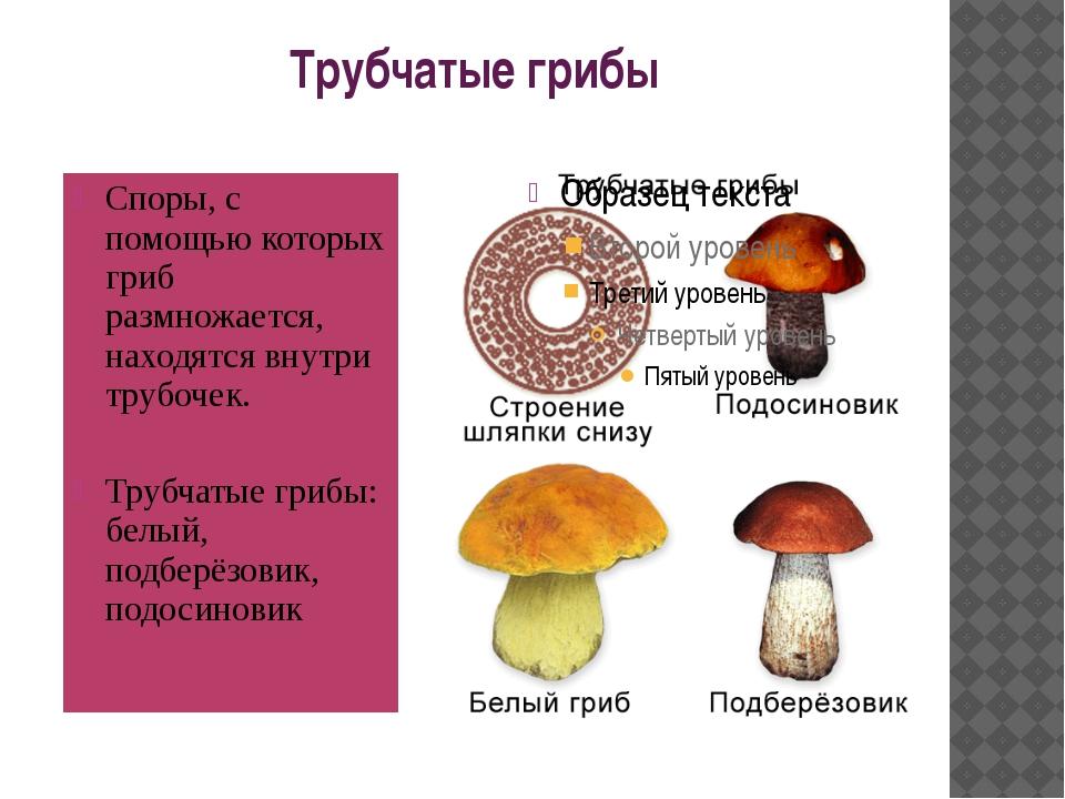 Трубчатые грибы Споры, с помощью которых гриб размножается, находятся внутри...