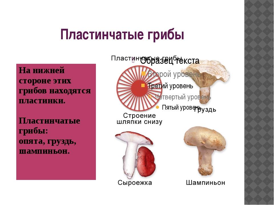 Пластинчатые грибы На нижней стороне этих грибов находятся пластинки. Пластин...