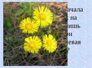 У этого растения сначала появляется цветок на высокой ножке, и лишь после тог