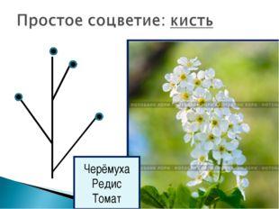 Черёмуха Редис Томат