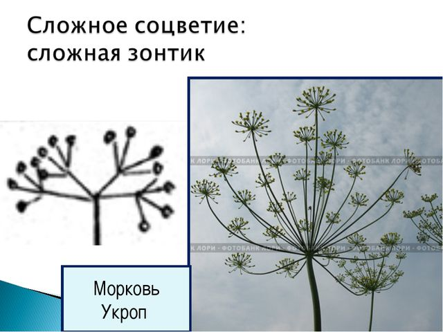 Морковь Укроп