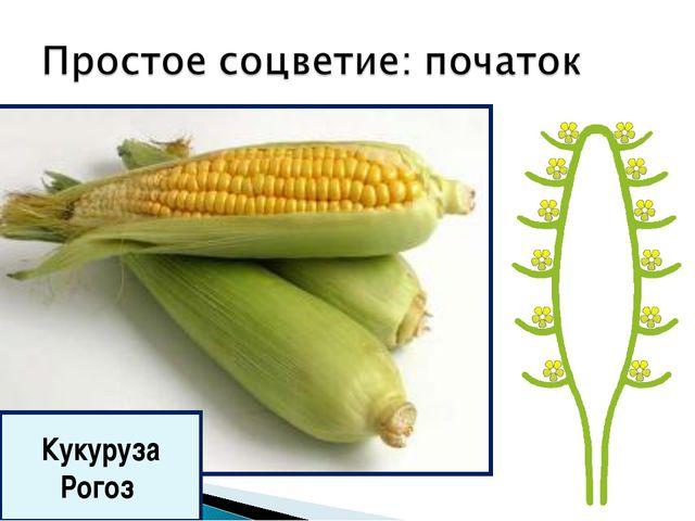 Кукуруза Рогоз