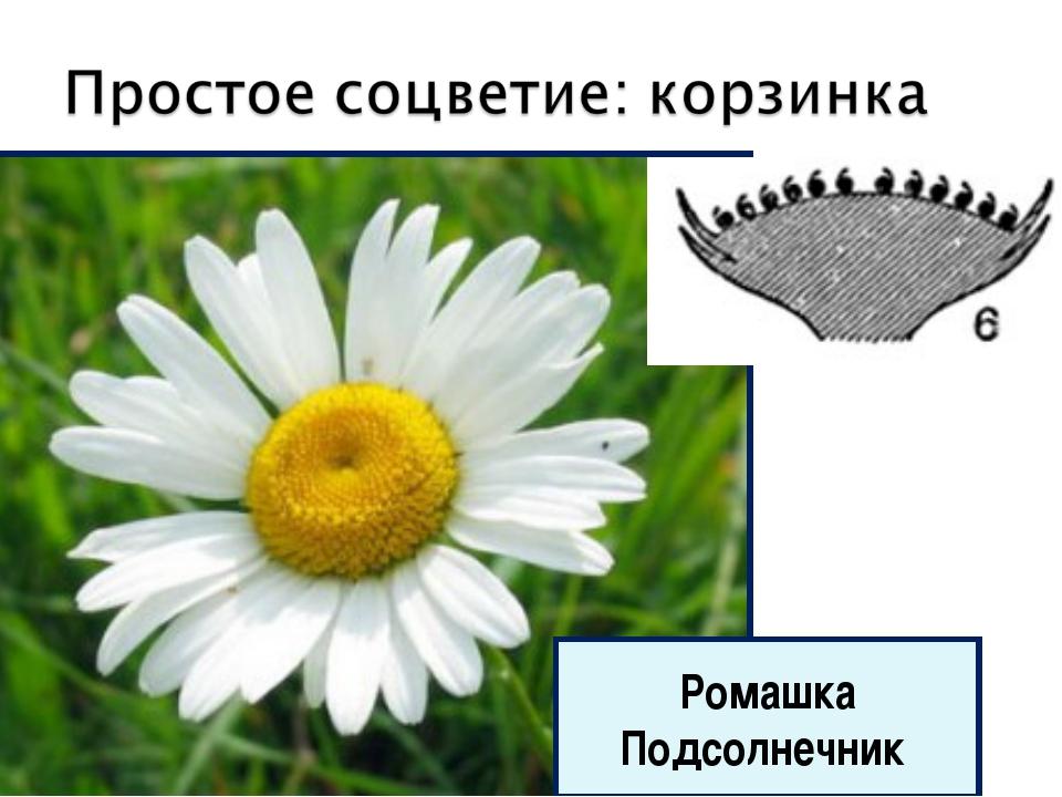 Ромашка Подсолнечник