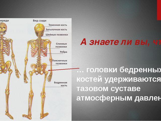 … головки бедренных костей удерживаются в тазовом суставе атмосферным давлени...