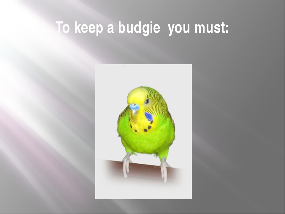 To keep a budgie you must: