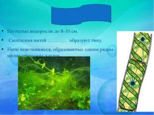 Спирогира Нитчатые водоросли до 8-10 см. Скопления нитей ………… образуют тину.