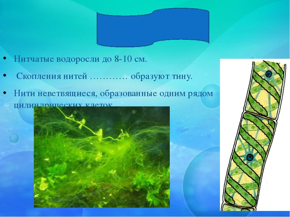 Спирогира Нитчатые водоросли до 8-10 см. Скопления нитей ………… образуют тину....