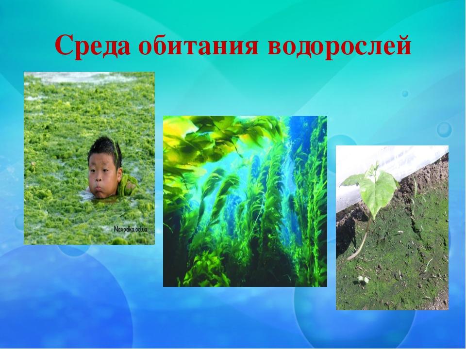 Среда обитания водорослей