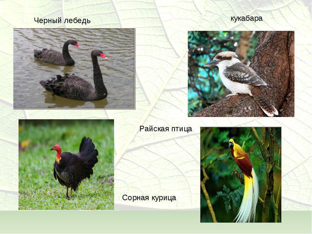 Черный лебедь кукабара Райская птица Сорная курица