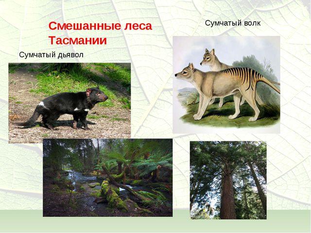Смешанные леса Тасмании Сумчатый дьявол Сумчатый волк