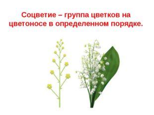 Соцветие – группа цветков на цветоносе в определенном порядке.
