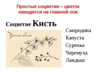 Простые соцветия – цветок находится на главной оси Соцветие Кисть Смородина К