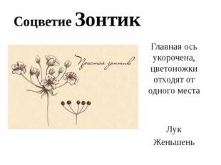 Соцветие Зонтик Главная ось укорочена, цветоножки отходят от одного места Лук