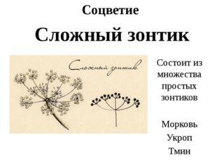 Соцветие Сложный зонтик Состоит из множества простых зонтиков Морковь Укроп Т