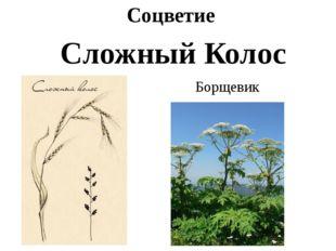 Соцветие Сложный Колос Борщевик