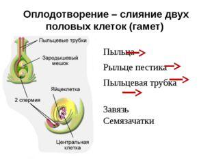 Оплодотворение – слияние двух половых клеток (гамет) Пыльца Рыльце пестика Пы