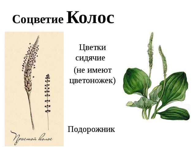 Соцветие Колос Цветки сидячие (не имеют цветоножек) Подорожник
