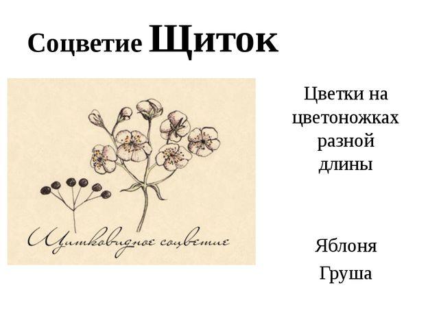 Соцветие Щиток Цветки на цветоножках разной длины Яблоня Груша