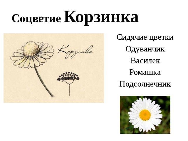 Соцветие Корзинка Сидячие цветки Одуванчик Василек Ромашка Подсолнечник