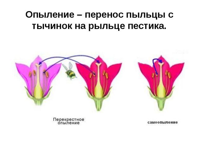 Опыление – перенос пыльцы с тычинок на рыльце пестика.