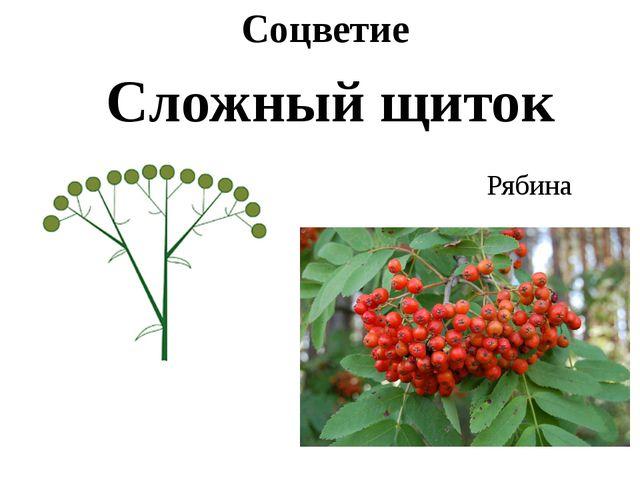 Соцветие Сложный щиток Рябина