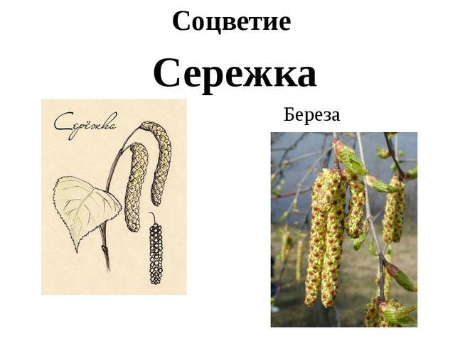 Соцветие Сережка Береза