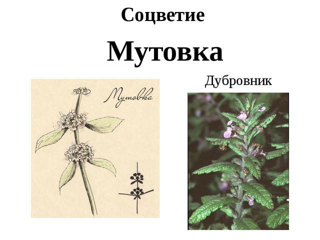 Соцветие Мутовка Дубровник