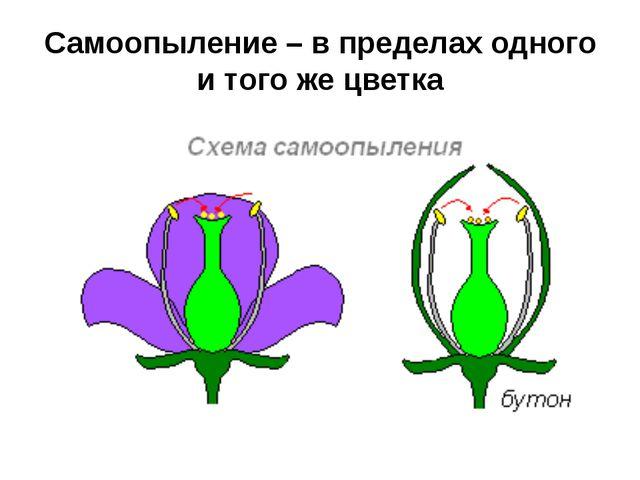 Самоопыление – в пределах одного и того же цветка
