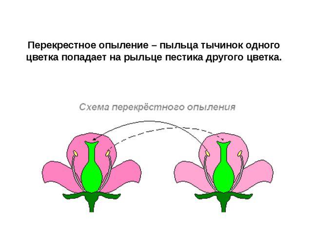 Перекрестное опыление – пыльца тычинок одного цветка попадает на рыльце пести...